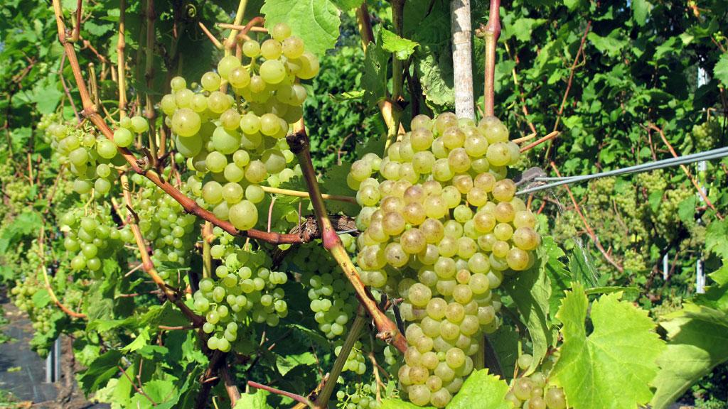hvide druer